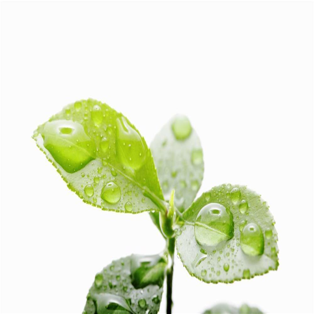 leafs_waterdrops_iStock_584005086_XXL